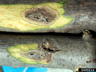 Thousand Cankers Disease offers new threat to Walnut trees