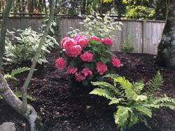 Updated Hydrangea woodland