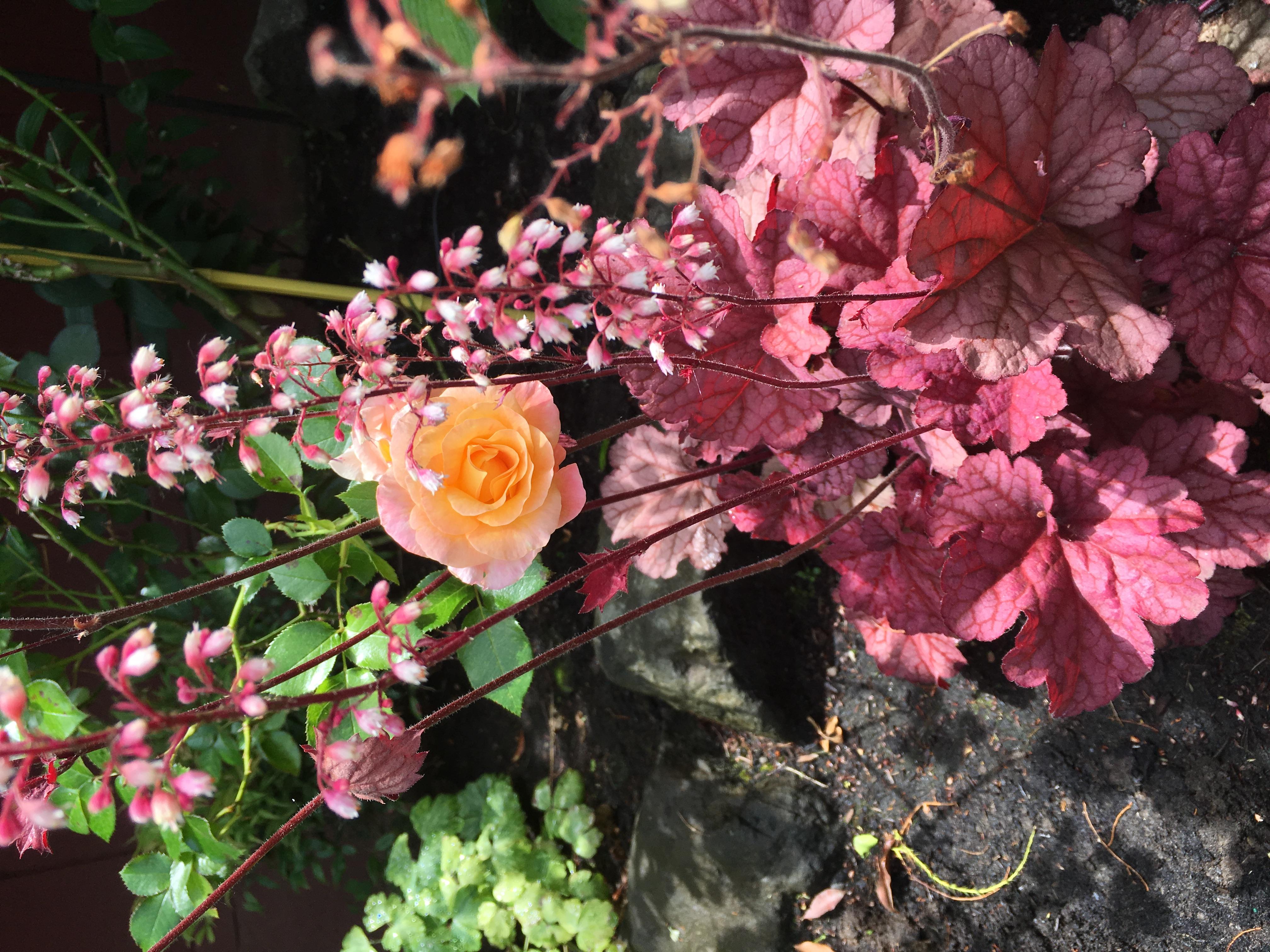 Heuchera & Roses