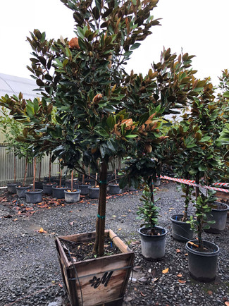 Magnolia 'Little Gem'.jpg