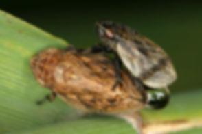 Lepyronia coleoptrata (Wanst-Schaumzikad