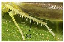 Leafhopper tibia.JPG