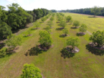 Pecan Farm For sale Lousiana,Robert Crouchet Commercial Real Estate, Pecan Farmland, Pecan Investment Property