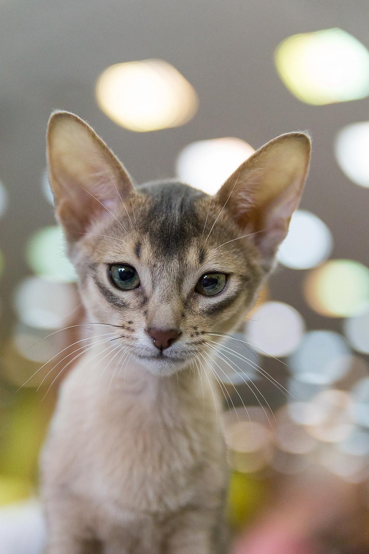 Abyssinian Cat - meet Harrison - my favorite kitten from Sofisticat.
