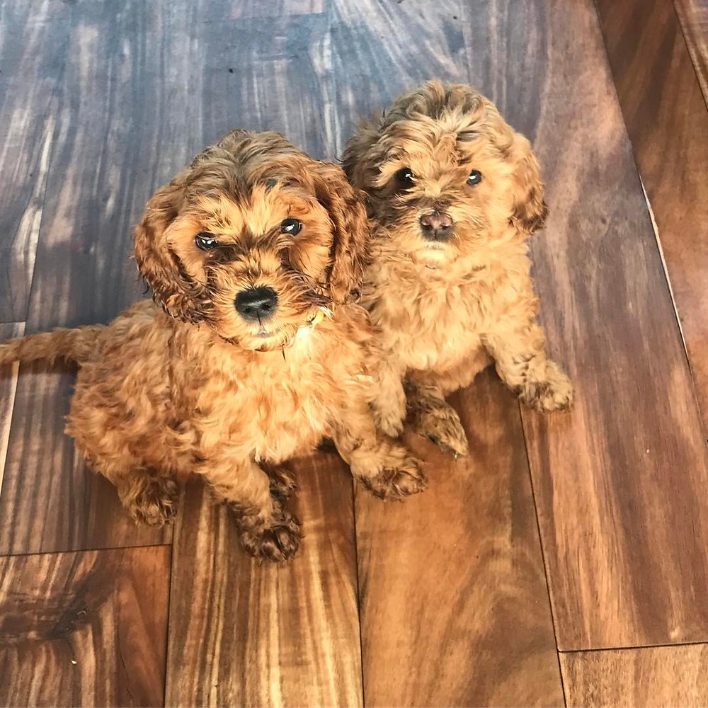 two mini goldendoodle puppies for sale looking into camera in anticipation