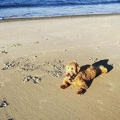 How Much Exercise Do Goldendoodles Need