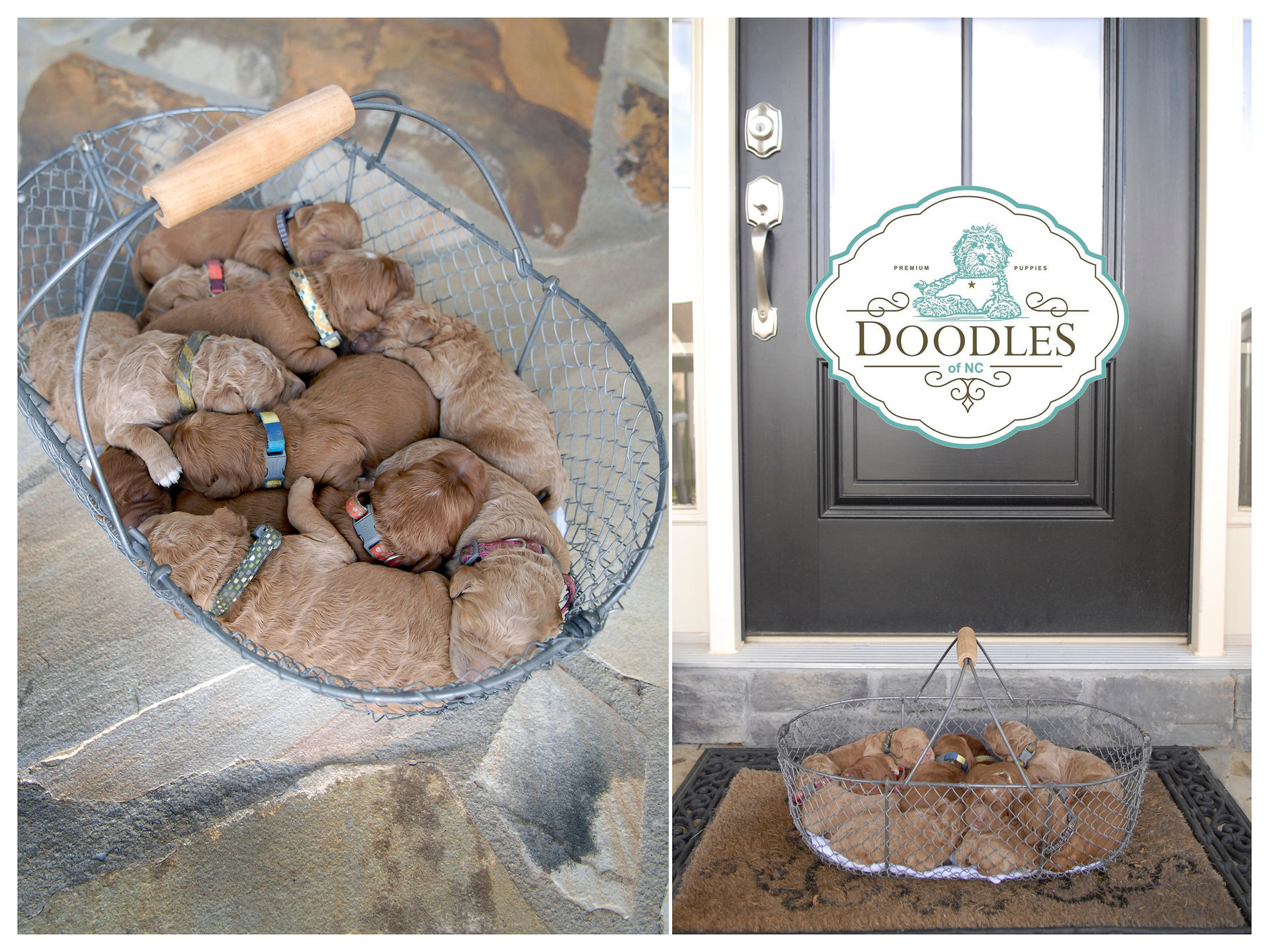 Goldendoodle Puppies For Sale Burlington Doodles Of Nc