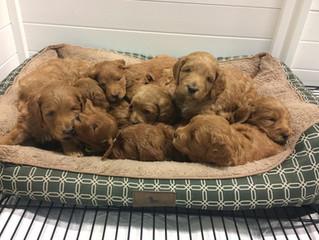 A breeder's secret to a clean Golden Doodle puppy nursery