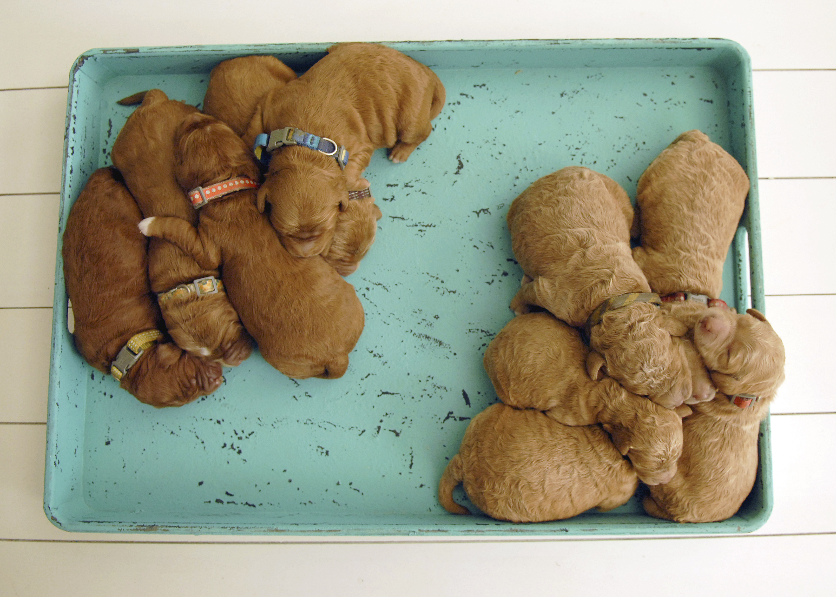 Goldendoodle Puppies For Sale Doodles Of Nc Servicing Va