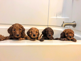 How often should you groom & bathe your Goldendoodle?