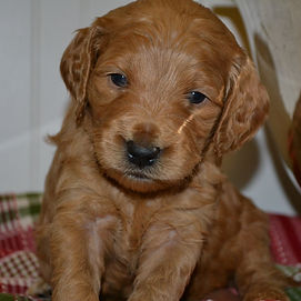 Precious Goldendoodle puppies available in NC