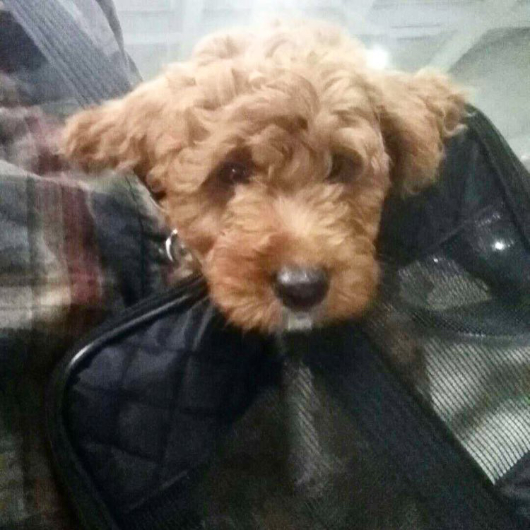 Goldendoodle puppy flys home