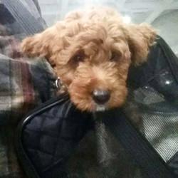 Goldendoodle puppy flys home