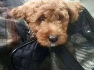 Breeder Flies Goldendoodle Puppies Home First Class
