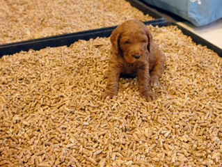 A breeder's secret to a clean Golden Doodle puppy nursery