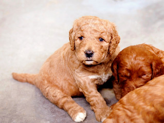 Do Golden Doodles shed?