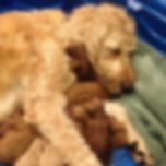 Golden doodle dog loving on her puppies in North Carolina
