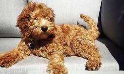 Goldendoodle hypoallergenic fur
