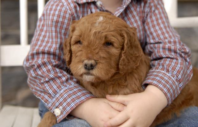 Goldendoodle puppy hugged by child