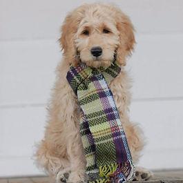 Golden Doodle puppy breeder in NC