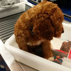 Goldendoodle puppy in airport TSA line