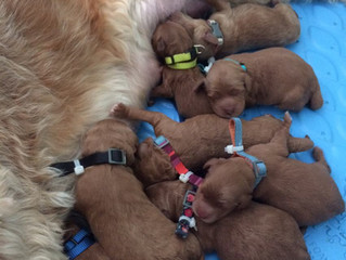 #Bellababy Goldendoodle Puppies Have Arrived!