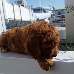 Goldendoodle puppy waits outside airport for new mom