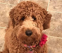 Available Golden Doodle Puppies