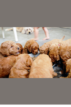Recommended puppy breeder!