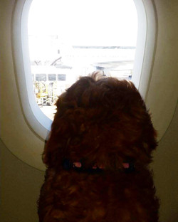 Goldendoodle puppy looking out window