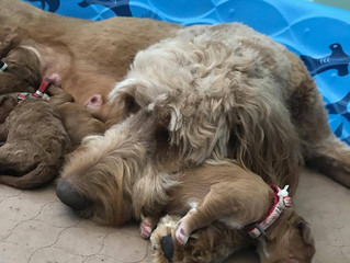 Kuechly's Goldendoodle Puppies Have Arrived!