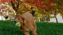 What is the disposition of a Goldendoodle?
