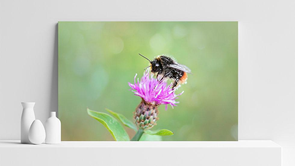 Quadro con stampa fotografica di ape selvatica