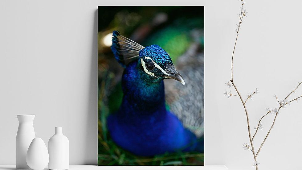Quadro con stampa fotografica di pavone