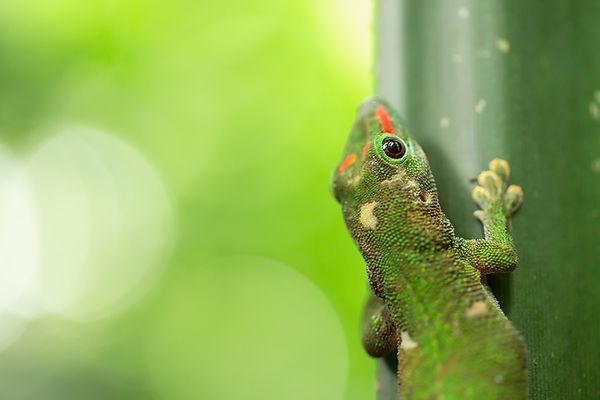 Macro fotografia geco, fotografia animali Ticino, fotografia Locarno, pet photography switzerland, geco del Madagascar, animal macro photograpy