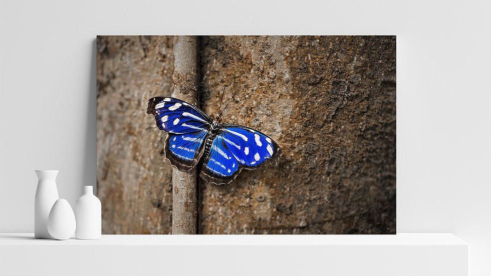 Quadro con stampa fotografica di farfalla Myscelia Cyaniris