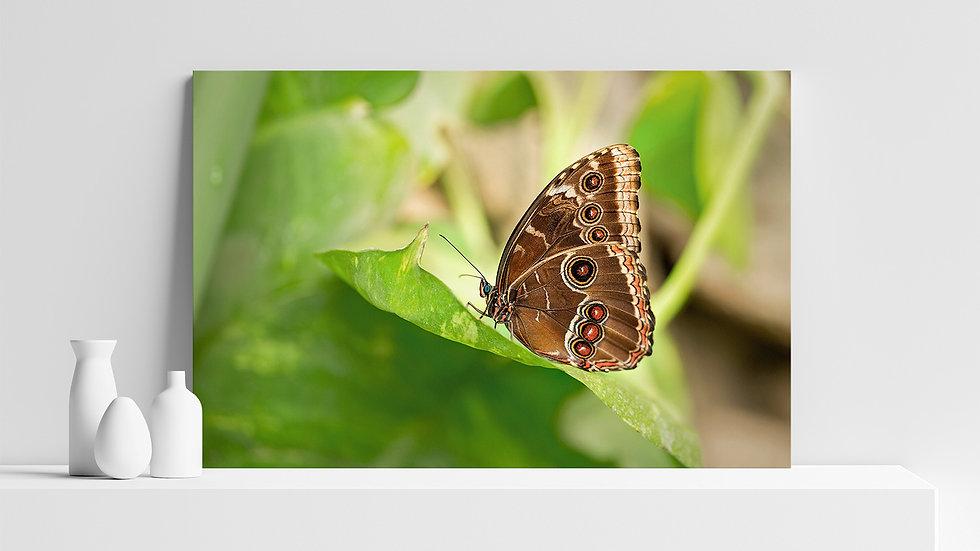 Quadro con stampa fotografica di farfalla Morfo Blu