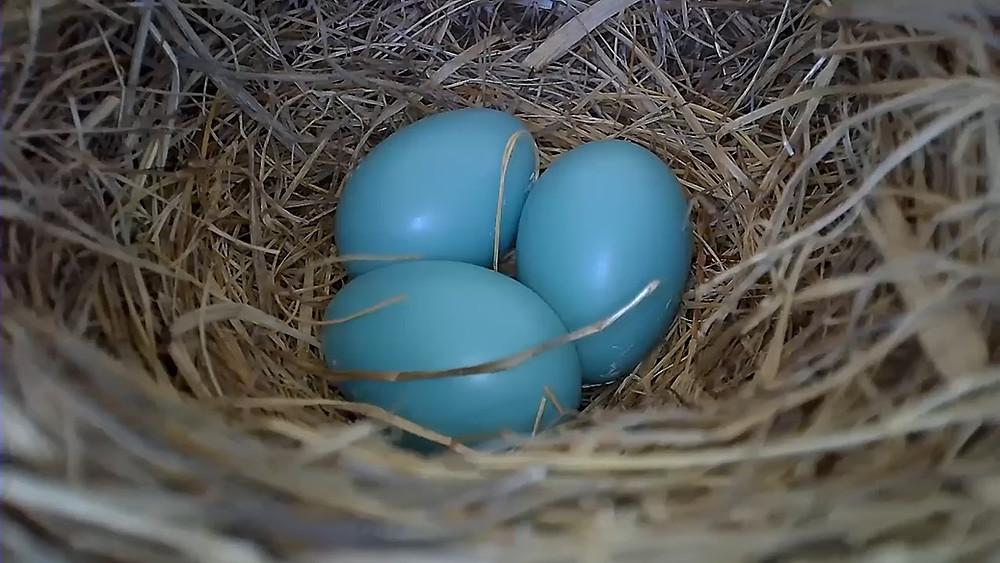 robin eggs, blue eggs, robin nest