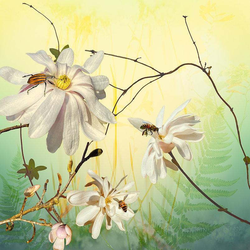 Star Magnolias and Beetle.jpg