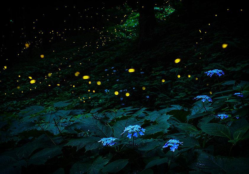 Hydrangea_in_summer_night.jpg