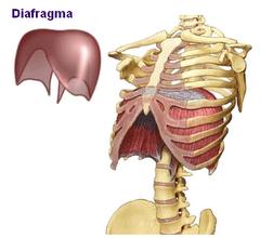 Diafragma: um músculo injustamente esquecido