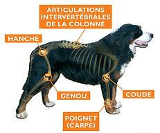 arthrose-chien.jpg