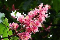 horse-chestnut-red-3397160_1920.jpg