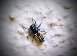 Ladybug larvae look like tiny, spiny alligator thugs.