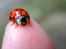 Ladybugs look cute and innocent, but they can be vicious cannibals! They sometimes eat each other. A favorite meal is undeveloped or soft, freshly hatched baby ladybugs. Yum!