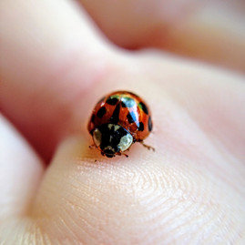Ladybugs can smell with their feet!