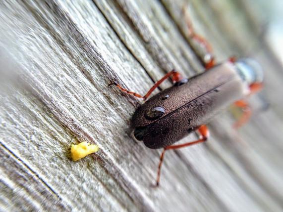 Beetle poop.