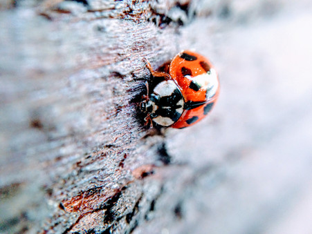 Ladybugs are probably the most recognizable beetle on earth, Besides John, George, Paul and Ringo.