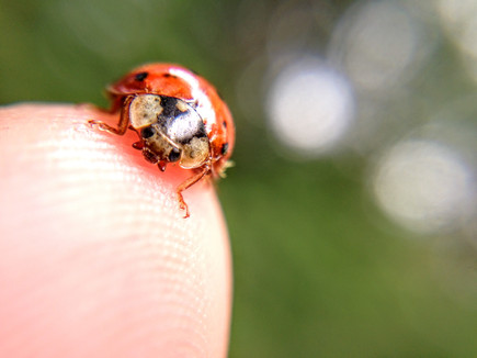 One lady bug can consume up to 50 aphids a day, making them a helpful guest in your garden!