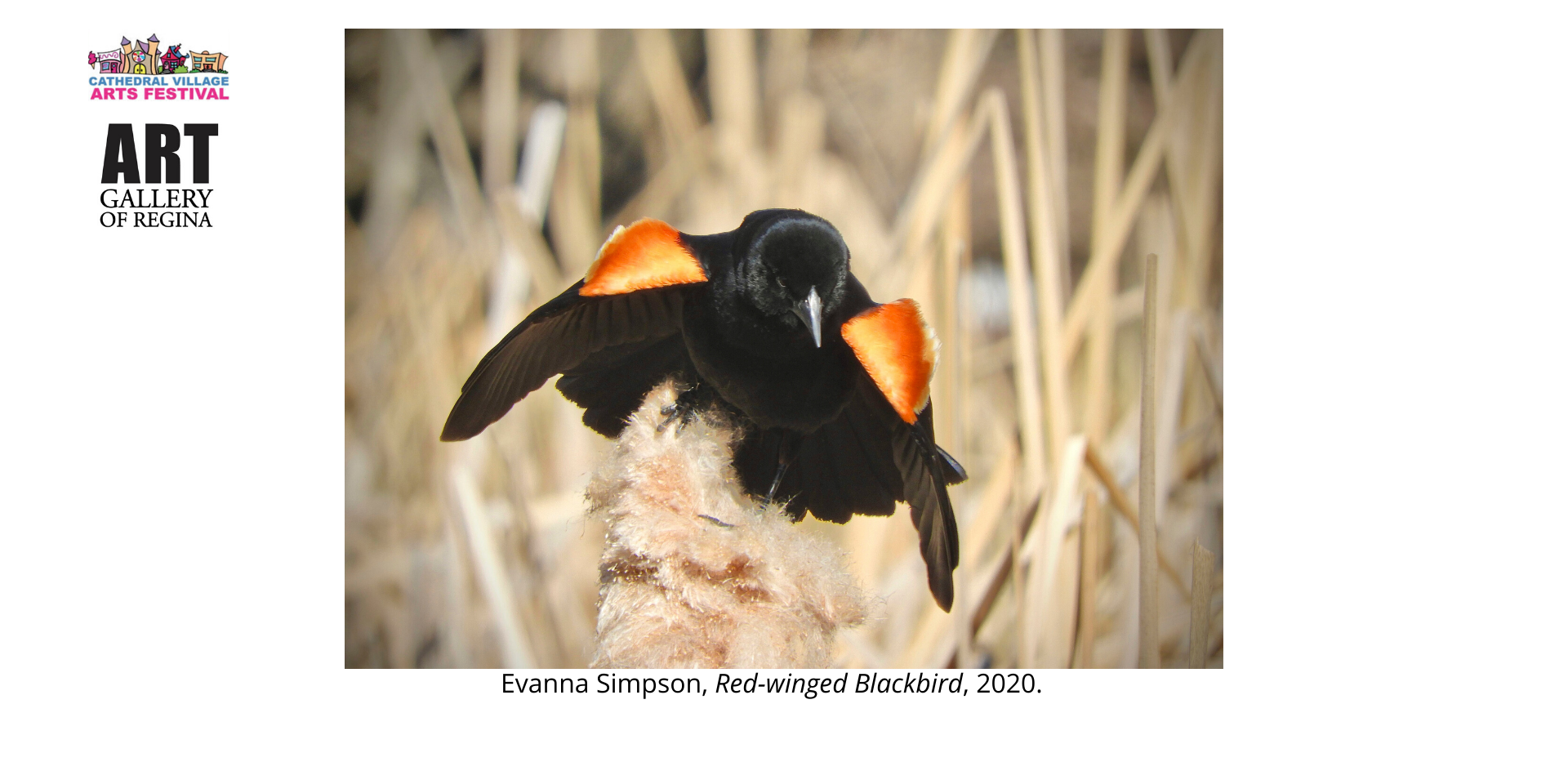 Evanna Simpson, Red-winged Blackbird, 2020.
